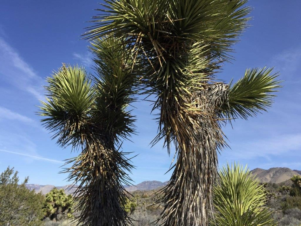 Joshua-Baum, Ridgecrest - California